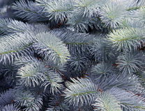 Pine tree detail Stock Photography