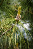 Pine tree detail Stock Photos