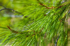 Pine tree detail Royalty Free Stock Image