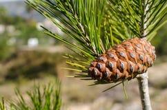 Pine tree. Detail take of a Mediterranean pine tree Stock Images