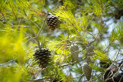 Pine tree. Detail view of a Pine tree in Greece stock photos