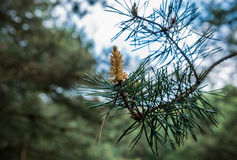 Pine tree details Stock Photography