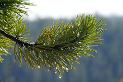 Pine tree with dew Stock Photos