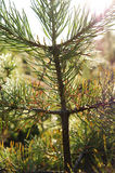 Pine tree with dew Stock Photography