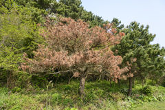 Pine tree die from a disease Stock Images