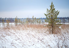 Pine tree and dry reeds on coast of frozen lake Royalty Free Stock Photography