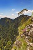 Pine tree at the Dunajec Canyon on the Polish border Stock Photography