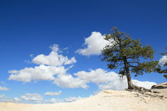 Pine tree on the edge Stock Photography