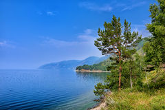 Pine tree on edge of steep bank of Lake Baikal Royalty Free Stock Images