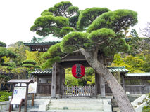 Pine tree at the entrance of Buddha Kamakura Royalty Free Stock Images
