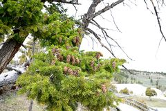 Pine tree. The evergreen pine trees with long , needle - shaped leaves and mature cones stock images