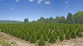 Pine tree farm in the country Stock Images