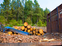 Free Pine Tree Felled For Timber Industry In Tenerife Royalty Free Stock Photos - 26645438
