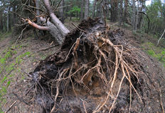 Pine tree felled after storm. Forest after heavy windstorm - huge felled pine tree Royalty Free Stock Photos