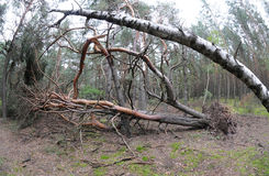 Pine tree felled after storm. Forest after heavy windstorm - huge felled pine tree Royalty Free Stock Photography