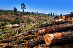 Pine tree felled for timber industry in Tenerife Royalty Free Stock Photography