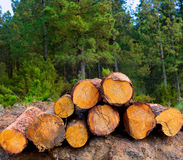 Pine tree felled for timber industry in Tenerife Royalty Free Stock Images