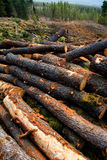 Pine tree felled for timber industry in Tenerife Royalty Free Stock Photos