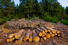 Pine tree felled for timber industry in Tenerife Stock Photography