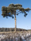 Pine tree in the field Stock Photography