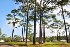 Pine tree field Royalty Free Stock Images