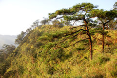 Pine tree field. Royalty Free Stock Images