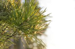 Pine Tree Fir Branch with Warm Sun Glow. on White Background. Greeting Card, Decoration, Design Concept with Copy Space.  stock photography