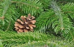 Pine tree or Fir Tree with Cones Closeup Stock Photos