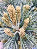Pine tree flower. The pine tree collection 2017 Royalty Free Stock Photo