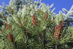 Pine tree flowers Royalty Free Stock Image