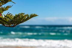 A pine tree in focus with the Port Noarlunga beach selectively b. Lurred on a rough day in South Australia on 6th September 2018 royalty free stock image