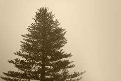 Pine tree with fog in sepia tone Stock Photos