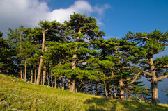 Pine tree forest. Scenic view of pine tree forest on hillside with blue sky and clouds in background, summer scene Stock Photography
