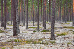 Pine tree forest. With Reindeer lichen on the ground royalty free stock images