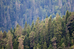 Pine tree forest Royalty Free Stock Image
