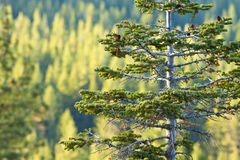 Pine Tree in Forest Royalty Free Stock Images