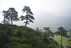 Pine tree forest. Pine trees on a mountain top in China Royalty Free Stock Images