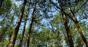 Pine tree. In the forest Stock Photos