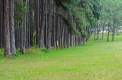 Pine tree . Royalty Free Stock Image