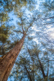 Pine Tree. In the forest Royalty Free Stock Photography