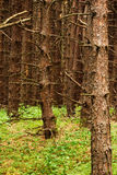Pine Tree Forest. A dense pine tree forest with green floor stock photos