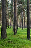 Pine tree forest. Perspective view on pine tree forest royalty free stock images