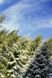 Pine-tree forest. Beautiful scene in a sunny day of winter Royalty Free Stock Photos