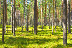 Free Pine Tree Forest. Royalty Free Stock Image - 73613576