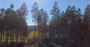 Pine Tree Forest from Above. Pine forest from above, aerial view of beautiful trees on a warm summer day stock video