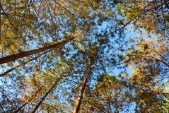 Pine tree in the forest against beautiful blue sky. Royalty Free Stock Photos