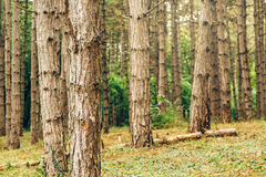 Pine tree forest in autumn october afternoon Stock Images