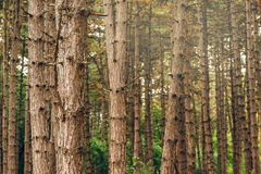 Pine tree forest in autumn october afternoon Royalty Free Stock Photos
