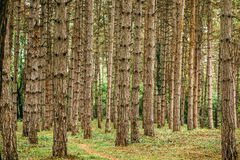 Pine tree forest in autumn october afternoon Stock Photo