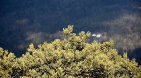 Pine tree with forest in the background. Pine tree with cones on branches stock images